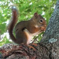 Z-gillesgonthier-redsquirrel2.jpg